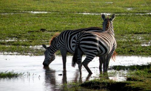 Zdjęcie KENIA / płd Kenia / Amboseli / U wodopoju