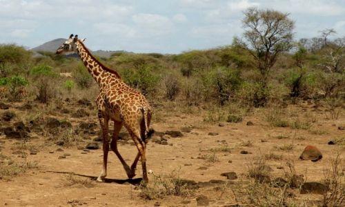 Zdjęcie KENIA / płd Kenia / Tsavo West / Żyrafa