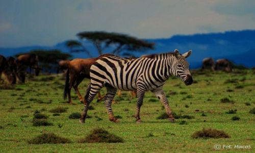Zdjęcie KENIA / Jezioro Naivasha / Wyspa Crescent / zebra