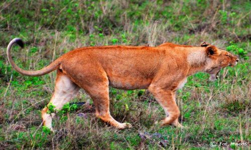 Zdjęcie KENIA / Park Narodowy Masai Mara / safari w Masai Mara / lwica