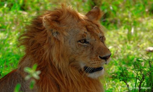 Zdjęcie KENIA / Park Narodowy Masai Mara / safari w Masai Mara / Król zwierząt