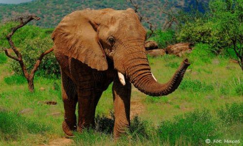 Zdjecie KENIA / Park Narodowy Samburu / safari w Samburu / Słoń