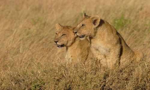 Zdjęcie KENIA / - / Masai Mara / Lwiątka