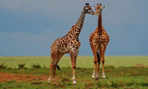 Zdjecie KENIA / Park Narodowy Masai Mara / safari w Masai Mara / Buziak ;)