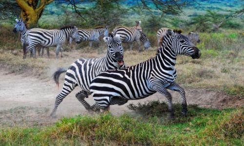 Zdjecie KENIA / Park Narodowy Jeziora Nakuru / safari w Nakuru / Zebry