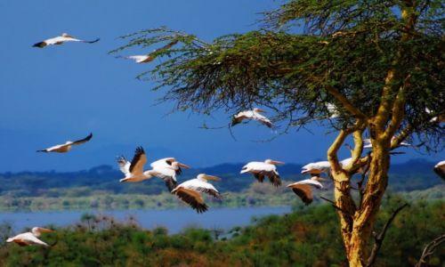 Zdjęcie KENIA / Jezioro Naivasha / Wyspa Crescent  / Pelikany