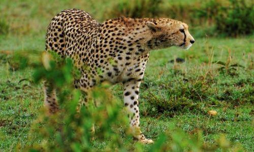 Zdjęcie KENIA / Park Narodowy Masai Mara / safari w Masai Mara / Kociak