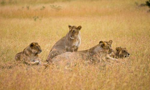 Zdjecie KENIA / NP Masai Mara / NP Masai Mara / Dzień kota