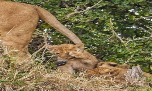 Zdjecie KENIA / Masai Mara / Mara Triangle / Lwiątko i ogon mamy