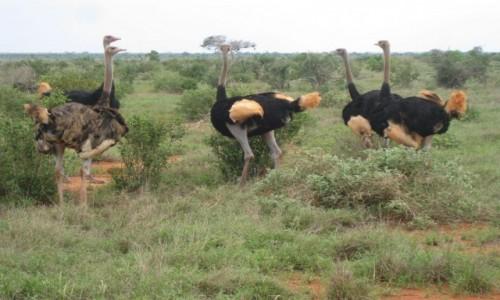 Zdjecie KENIA / Tsavo / Tsavo National Park / Strusie
