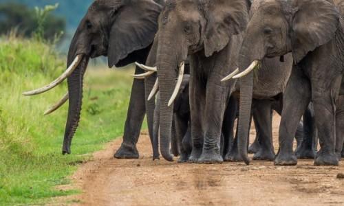 Zdjecie KENIA / Masai Mara / Mara Triangle / Zebranie na drodze