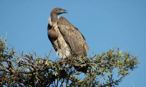 Zdjecie KENIA / brak / Masai Mara / sępie oko obserwuje...