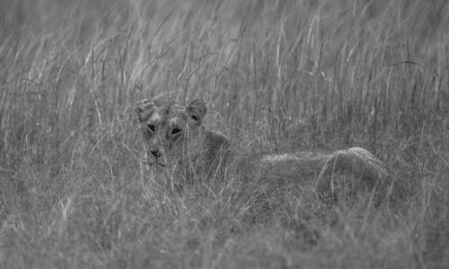 Zdjecie KENIA / Masai Mara / Mara Triangle / Lwica hipnotyzuje mnie