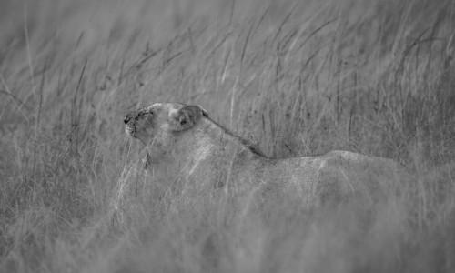 Zdjecie KENIA / Masai Mara / Mara Triangle / Lwica się nudzi:)