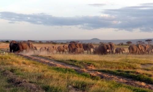 KENIA / Amboseli / Po�udiowa Kenia, przy granicy z Tanzani� / W drodze do wodopoju