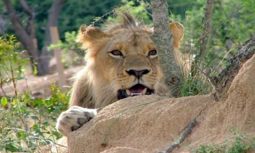 Zdjęcie KENIA / Masai Mara / Kenia / Polujący