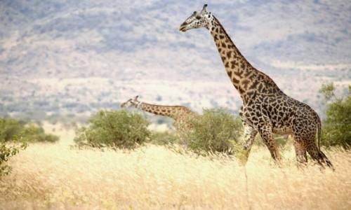 Zdjecie KENIA / Tsavo West / Taita Hills / Safari
