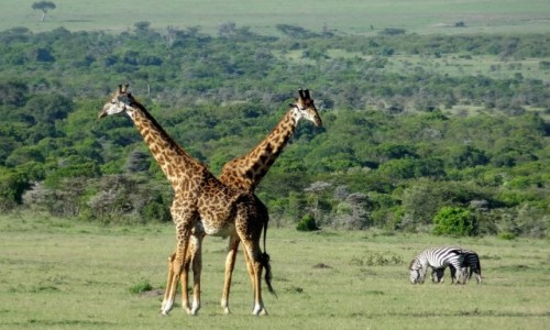 KENIA / - / Masai Mara / ;)