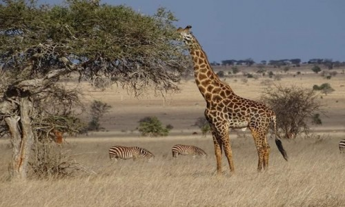 Zdjecie KENIA / - / Kenia  / Kenia Safari