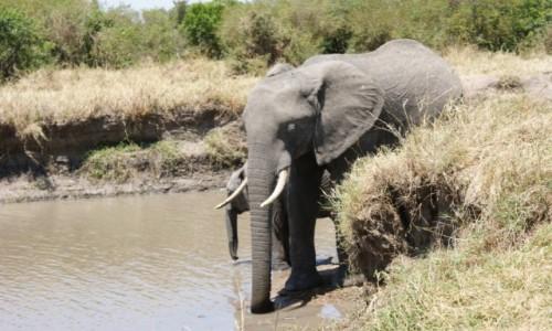 Zdjecie KENIA / masai mara / safari / Elefant