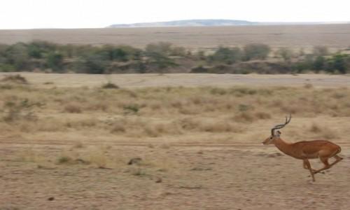 Zdjecie KENIA / masai mara / safari / biegn�ca antylo