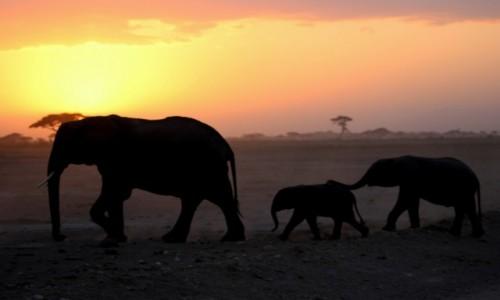 Zdjecie KENIA / Amboseli / Amboseli / Ponieś mi trąbę, młody