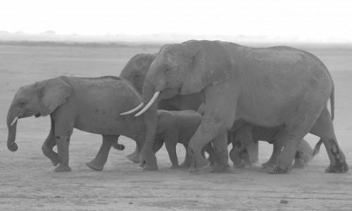 Zdjecie KENIA / Amboseli / Amboseli / w drodze do wod