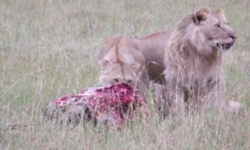 Zdjecie KENIA / Samburu / Samburu / Posiłek drapież