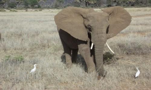 Zdjecie KENIA / Samburu / Samburu / Król słoni