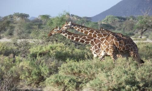 Zdjecie KENIA / Samburu / Samburu / Kto pierwszy do