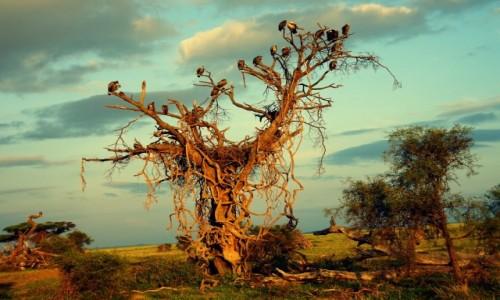 Zdjecie KENIA / Amboseli  / Amboseli National Park  / Drzewo sępów