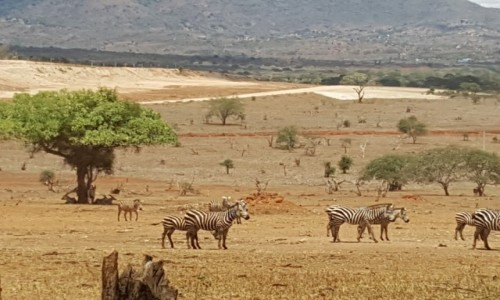 Zdjecie KENIA / Mombasa / Tsavo National Park / safari
