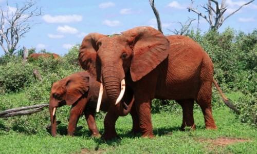 Zdjecie KENIA / Między Nairobi a wybrzeżem / Park Narodowy Tsavo / Jestem czerwonym słoniem