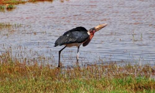 Zdjecie KENIA / Między Nairobi a wybrzeżem / Park Narodowy Tsavo / Marabut na łowach