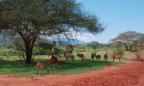Zdjęcie KENIA / Między Nairobi a wybrzeżem / Park Narodowy Tsavo / W cieniu chłodniej