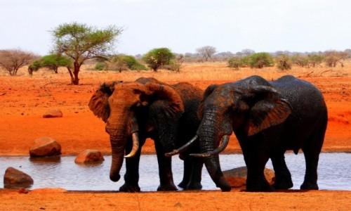 Zdjecie KENIA / - / Tsavo East / Pomarańczowe słonie