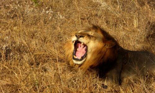 Zdjecie KENIA / - / Tsavo East / W paszczy lwa