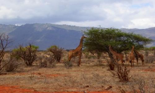 Zdjecie KENIA / - / Tsavo East / Mama żyrafa