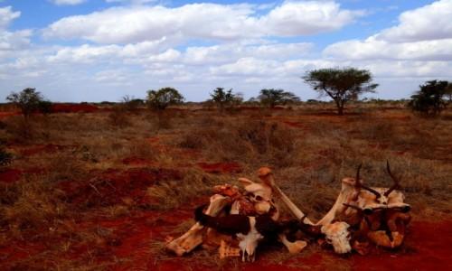 Zdjecie KENIA / - / Tsavo East / Kości zostały rzucone
