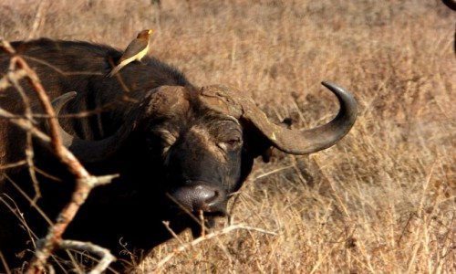 Zdjecie KENIA / Kenia wschodnia / Tsavo East / Symbioza