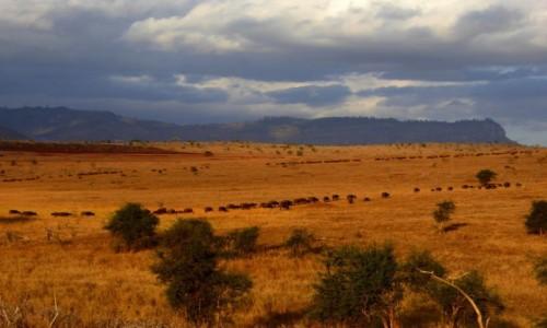 Zdjęcie KENIA / Kenia wschodnia / Tsavo East / Migracja bawołów