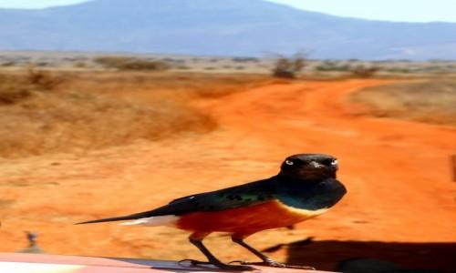 Zdjęcie KENIA / Kenia Wschodnia / Tsavo East / Ja tu strzegę wjazdu