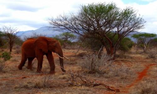 Zdjęcie KENIA / Kenia Wschodnia / Tsavo East / Pomarańczowy słoń