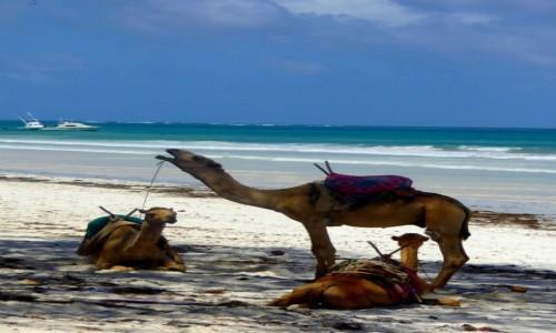 Zdjecie KENIA / Kenia Nadbrzeżna / Diani Beach / To nie błąd, to wielbłąd.