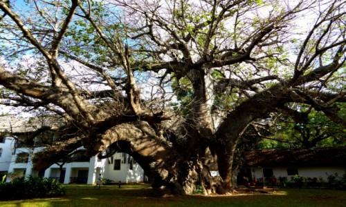 Zdjecie KENIA / Kenia Nadbrzeżna / Diani Beach / Drzewo. Podobno stare.