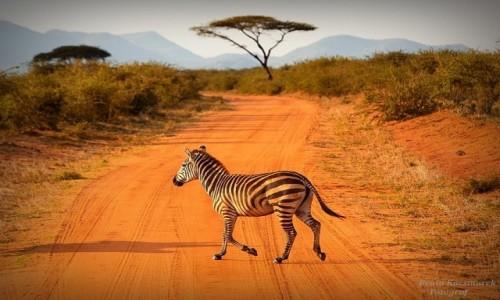 Zdjecie KENIA / Amboseli / Amboseli / Zebra