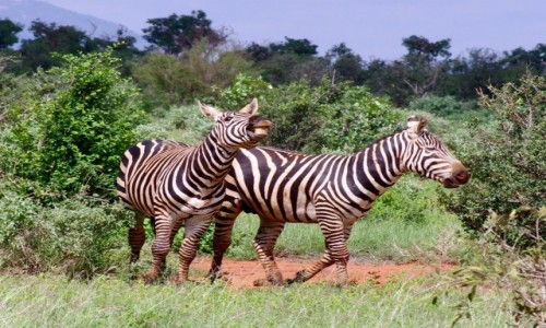 Zdjecie KENIA / Tsavo East / Tsavo East / Safari w Tsavo East