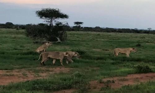 Zdjecie KENIA / Mombasa/Diani/Malindi / Tsavo East / Lwia rodzina na dzisiejszym safari w Tsavo East