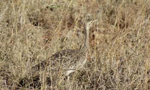 Zdjecie KENIA / Tsavo East / Tsavo East / Coś w trawie piszczy...
