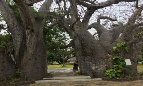 Zdjecie KENIA / - / diani beach / baobab